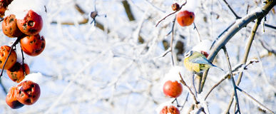 Titmouse sitting on a snowy apple tree Royalty Free Stock Photography