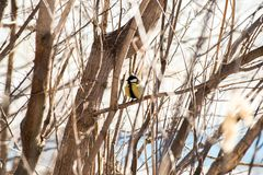 titmouse sitting still on bare, leafless branches royalty free stock photo