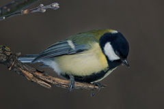 Titmouse sitting on the tree Stock Photography