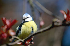 Titmouse sitting on a tree. royalty free stock image