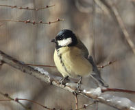 Titmouse4 royalty free stock image