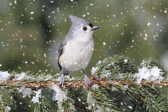 Titmouse in Snow Royalty Free Stock Photography