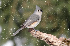 Titmouse in Snow Royalty Free Stock Images