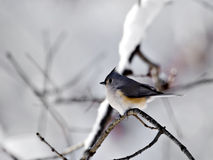Titmouse With Snow Royalty Free Stock Photo