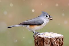 Titmouse in Snow Stock Photography