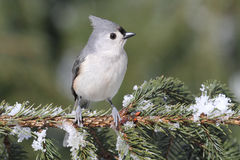 Titmouse On A Snow-covered Branch Royalty Free Stock Images