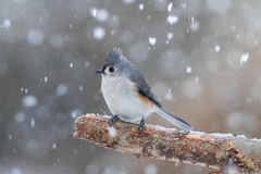 Titmouse in Snow Stock Photo