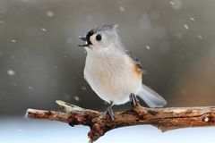 Titmouse in Snow Stock Image