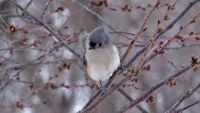 Titmouse on a snowy windy day. Titmouse on a snowy windy winter day in Pennsylvania 2017 stock footage