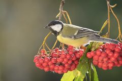 Great tit standing on a rowanberry branch. Titmouse standing on a rowanberry branch Stock Photo