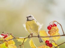 Titmouse standing on a rowanberry branch. Titmouse is standing on a rowanberry branch Stock Photos