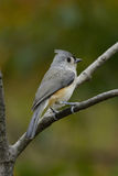 Titmouse Stare Royalty Free Stock Images