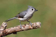 Titmouse On A Stick Royalty Free Stock Image