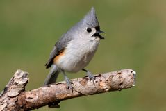 Titmouse On A Stick Royalty Free Stock Photo
