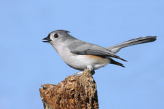 Titmouse On A Stump Royalty Free Stock Photos