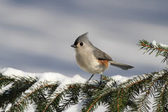 Titmouse On A Stump Royalty Free Stock Photography