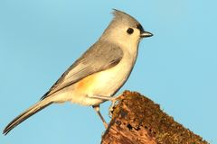 Titmouse On A Stump Royalty Free Stock Images