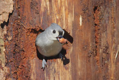 Titmouse On A Stump Royalty Free Stock Photo