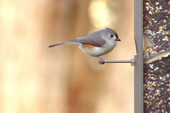 Titmouse Royalty Free Stock Image