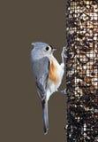 Titmouse trapuntato (Parus bicolore) Fotografia Stock Libera da Diritti
