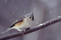 Titmouse trapuntato un giorno dello Snowy Immagini Stock Libere da Diritti
