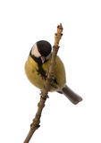 Titmouse on a tree branch Stock Images