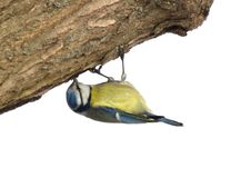 Titmouse on a tree trunk upside down. Stock Photo