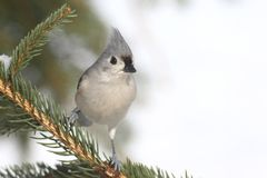 Titmouse in a Tree Royalty Free Stock Photography