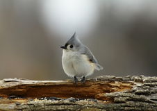 Titmouse tufté Photo stock