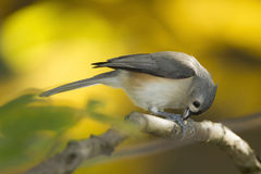 Titmouse tufté mangeant une graine Photos stock