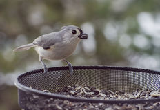 Titmouse. A tufted titmouse helps himself to a sunflower seed from the feeder Royalty Free Stock Photography