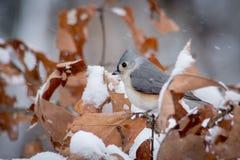 Titmouse w zimie Obrazy Stock