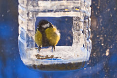 Titmouse in winter Stock Photo