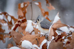 Titmouse in Winter Stock Images