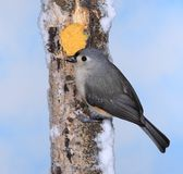 Titmouse at Winter Suet. A Tufted Titmouse at winter suet Royalty Free Stock Images