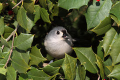 Titmouse On A Wreath With Holly Royalty Free Stock Images