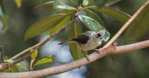 Titmouse Are you coming? Royalty Free Stock Photos