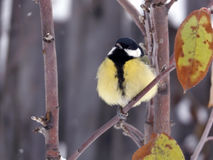 Titmouse on young apple tree Stock Image