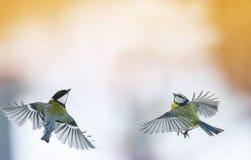 2 titmouses летая вверх к солнцу, распространили свои крыла широко Стоковые Изображения RF