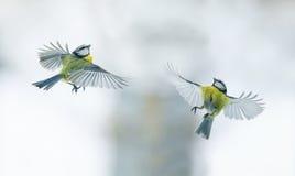 2 titmouses летая вверх к солнцу, распространили свои крыла широко Стоковая Фотография RF