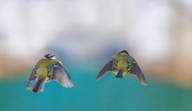 2 titmouses летая к одину другого в парке зимы Стоковые Изображения