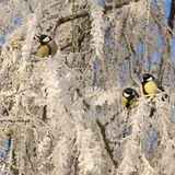 Titmouses on snow-covered branches Royalty Free Stock Photos