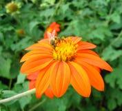 titoniya цветка пчелы Стоковые Изображения RF