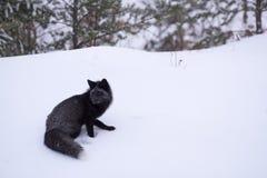 Titre de renard argenté vers la forêt Photographie stock