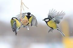 Tits το χειμώνα για να πετάξει και να καθίσει στον τροφοδότη Στοκ Εικόνες