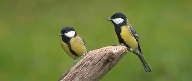 Tits. Pair of tits sitting on a log Stock Photos