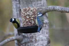 Tits at birdfeeder Royalty Free Stock Photography