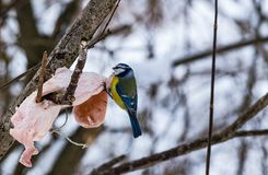 Tits of bright color on branches in winter royalty free stock photos