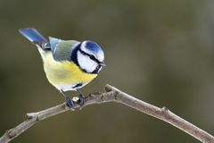 Tits (Cyanistes caeruleus) Royalty Free Stock Photography