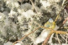 Tits de los pájaros del invierno Foto de archivo